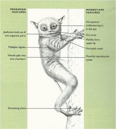 tarsier-classification
